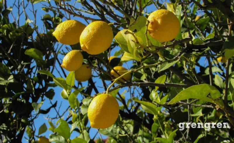 自家受粉で果実が収穫できるレモン