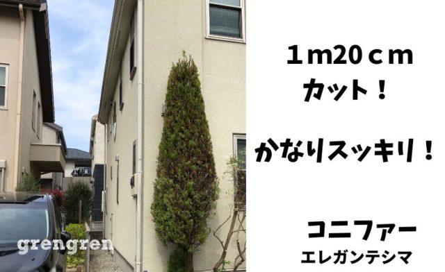 横浜市のかなり大きなコニファーの刈り込み剪定の施工後