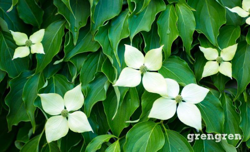 白い大きな花弁が素敵な常緑ヤマボウシの花