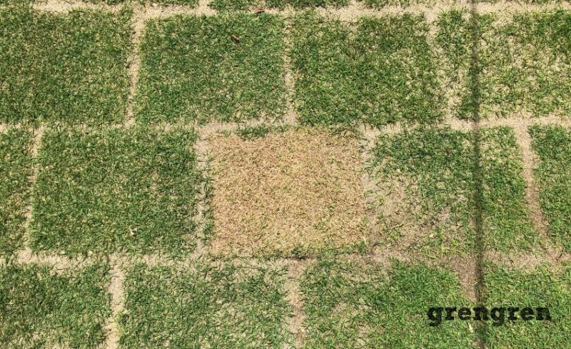 一枚だけ枯れかけたTM9の芝生