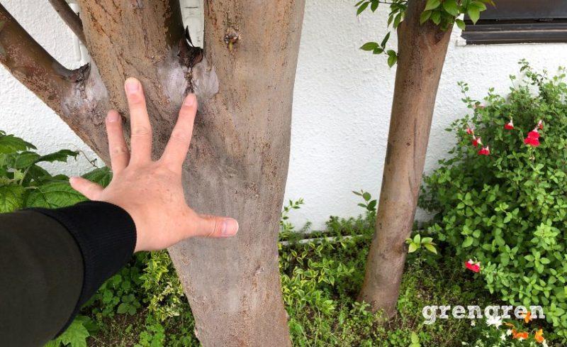 かなり太くなったヒメシャラの木