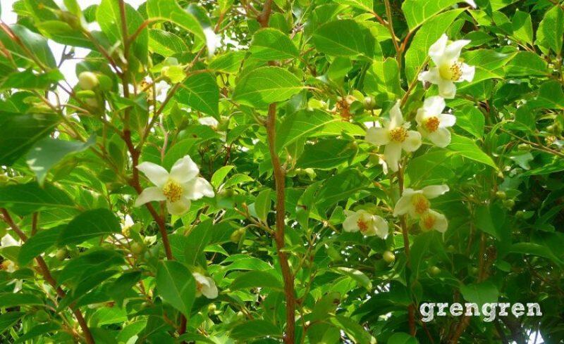 新緑が美しいヒメシャラの葉っぱと花