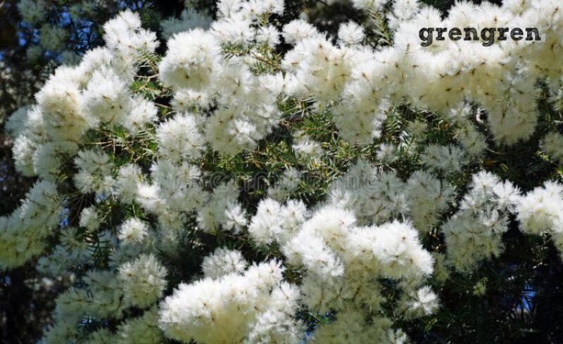 世田谷区の個人邸のメラレウカスノーインサマーの花