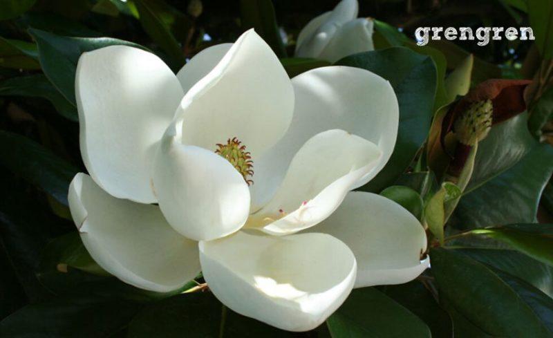 空に向かって咲く大輪のタイサンボクの花
