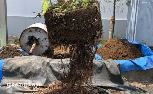 ドラム缶に入っていた素敵な樹形のシマトネリコを移植