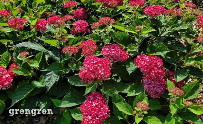 ルビー色の埼玉県深谷市で育てられている四季咲き紫陽花