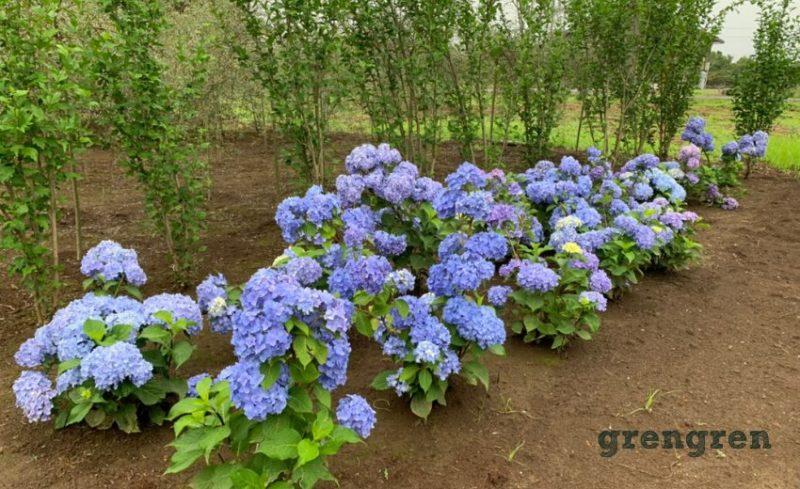 綺麗なブルーがオススメな四季咲き紫陽花