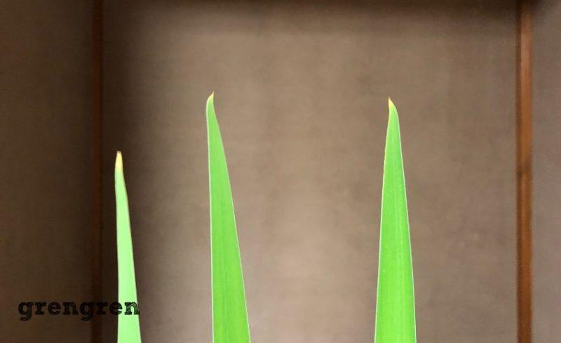 個性と決まりがあるカキツバタの葉っぱの先端