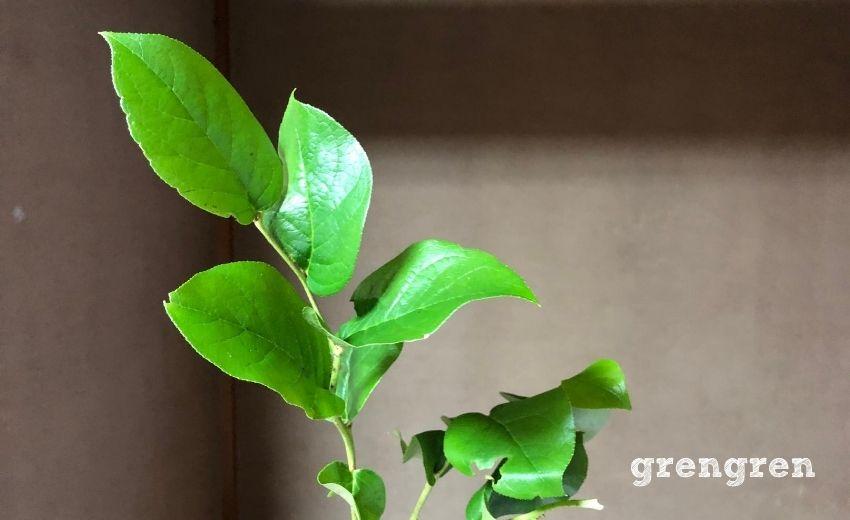 レモンの葉っぱにそっくりな葉っぱ名前がレモンリーフ