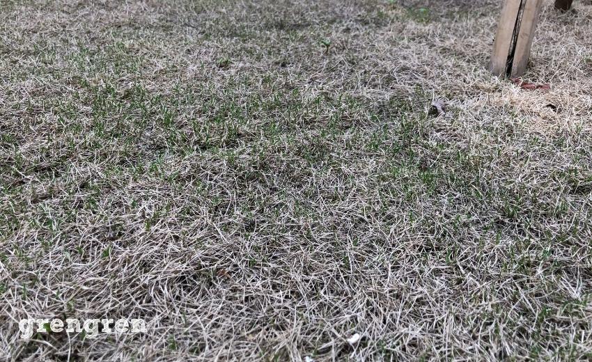 傷んだ芝生から新芽が出ている芝生TM9