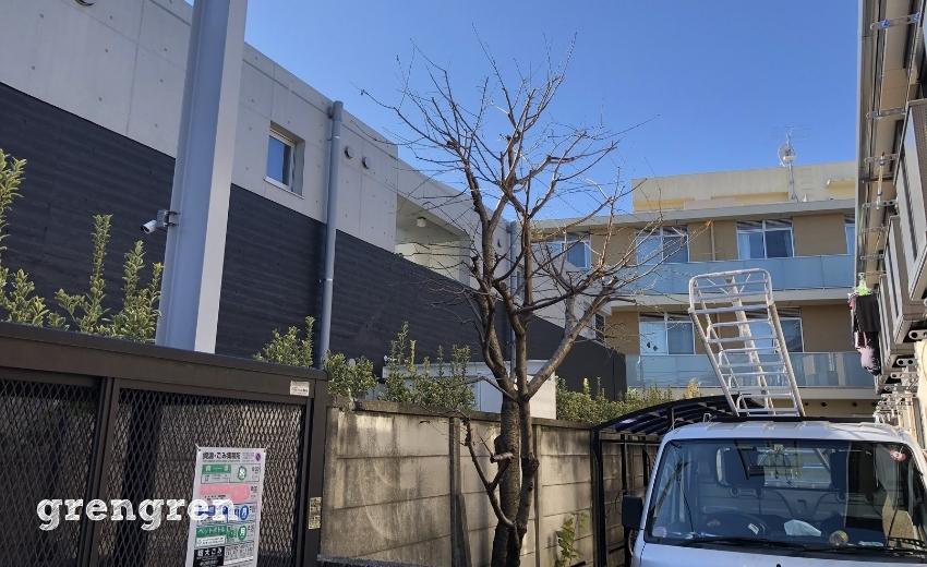冬の桜の木の剪定後