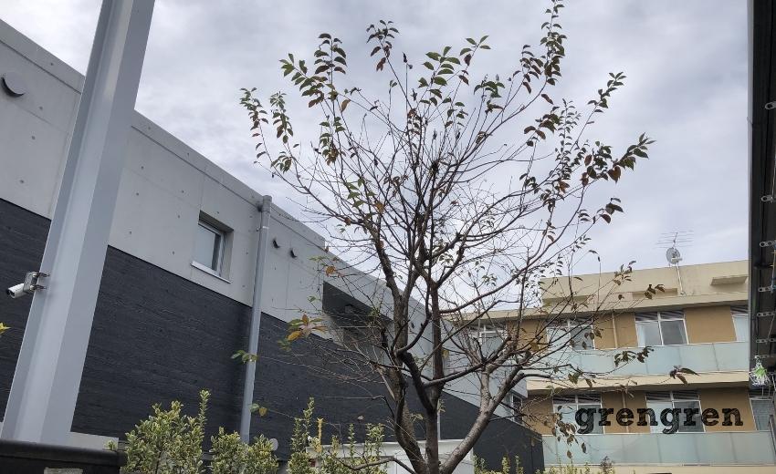 剪定を行う前の11月の桜の木