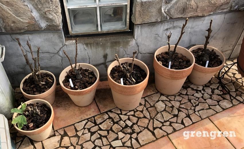 世田谷ローズガーデンの端っこで養生している牡丹の鉢植え