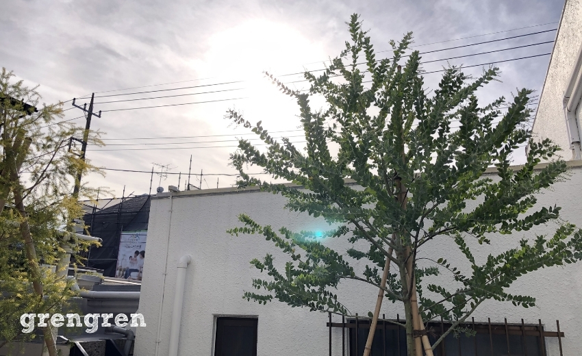 2020年5月に植えこんだ横浜の庭の樹木の剪定