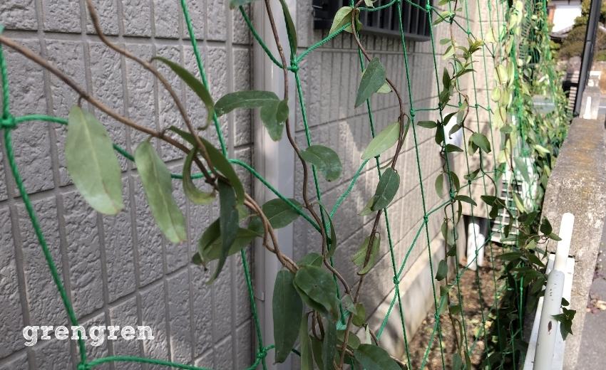 誘引ネットに誘引したつる性の植物カロライナジャスミン