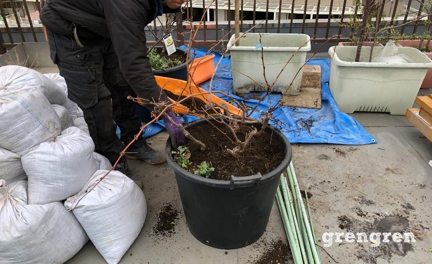 果樹の移植作業