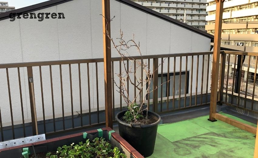 ブドウの鉢植えをパーゴラの根本に設置