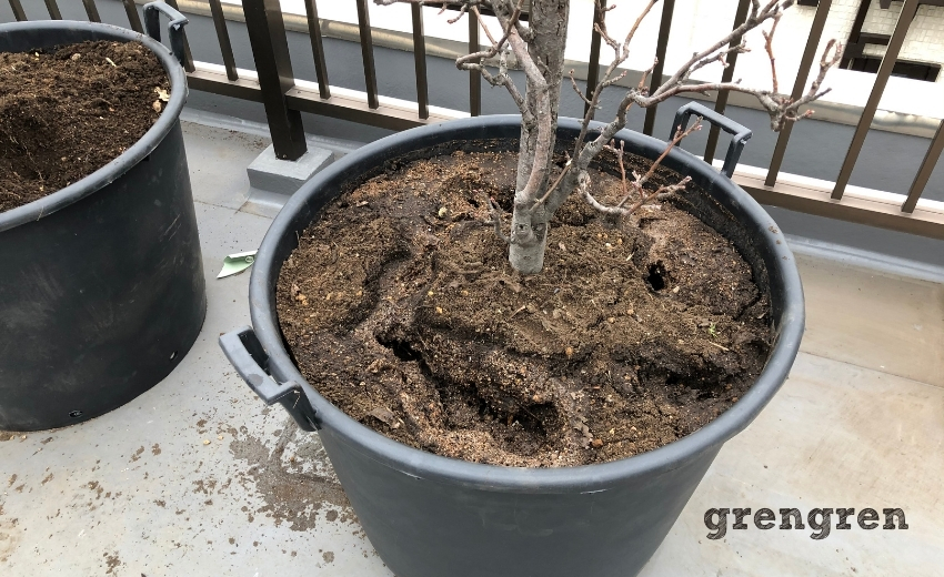 果樹の移植に関する注意点など
