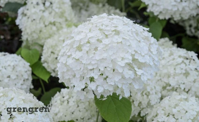 6月に開花する大きな花のボリュームが素晴らしいアナベル