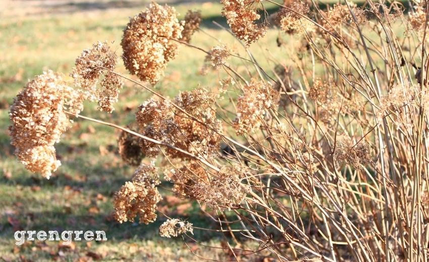 秋冬に立ち枯れするアナベル