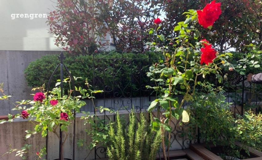 赤い薔薇を咲かす春から初夏の薔薇
