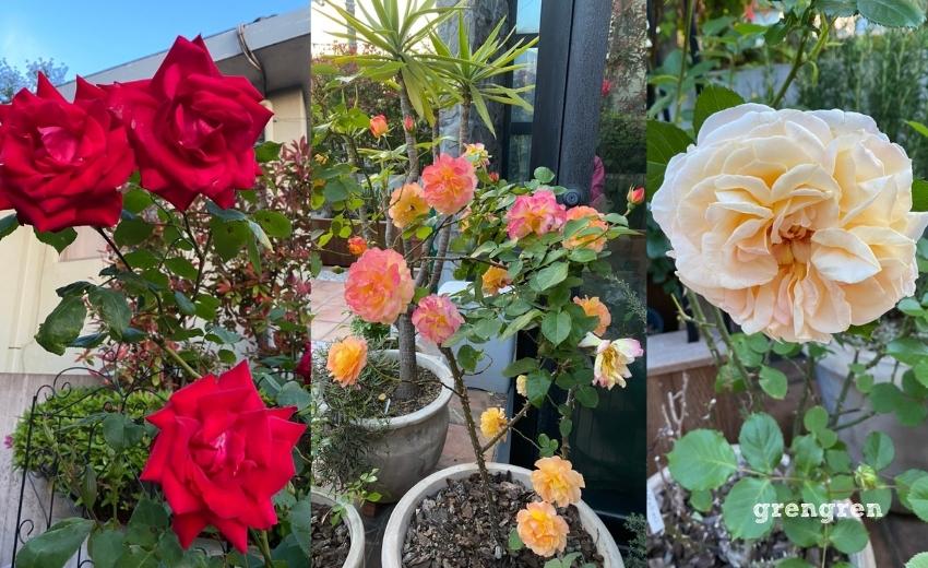 様々な個性を魅せてくれるバラ達