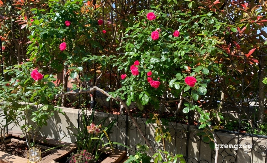 大振りの薔薇をトレリスで楽しむ