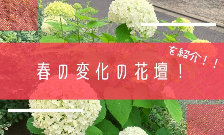 6月から沢山花を咲かせるアナベル