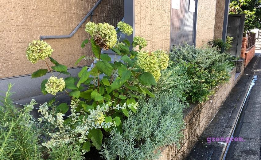 花が白から緑に変化したアナベル